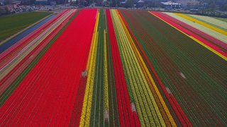 Tulip Fields  2, Lisse