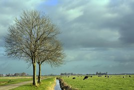 Lonely trees in the polder